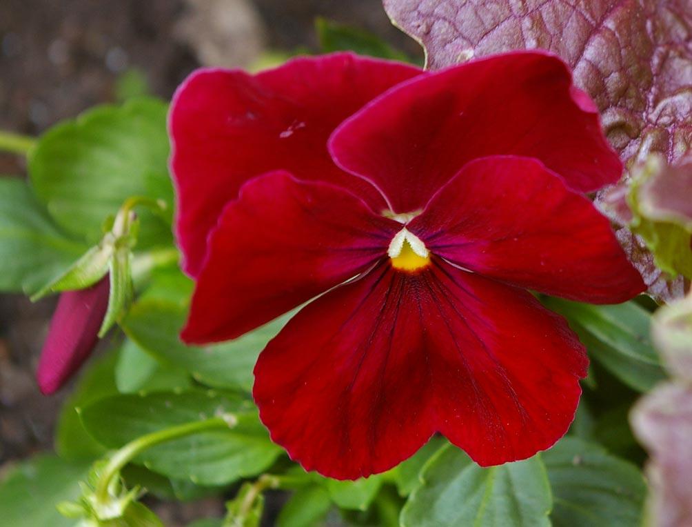 Maceška zahradní (Viola wittrockiana)