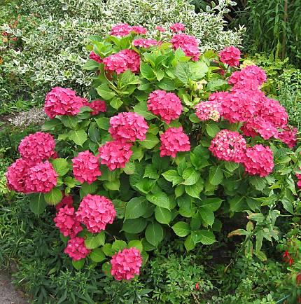 Hortenzie nebo také hydrangea