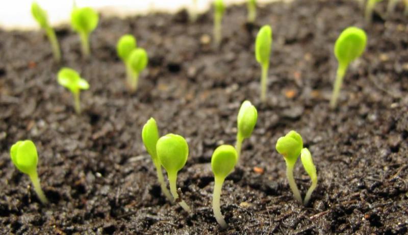 Kdy předpěstovat sadbu