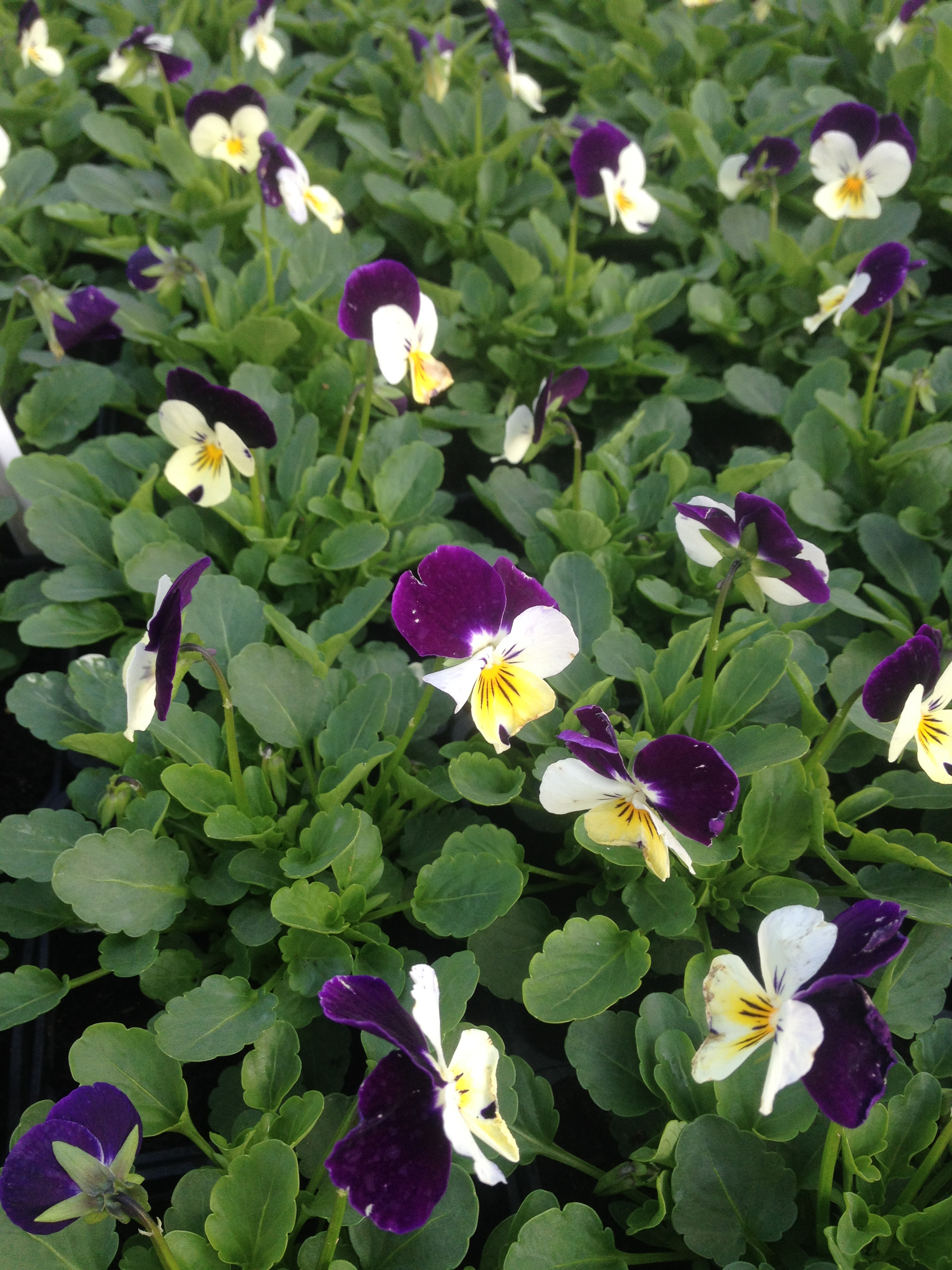 Viola x cornuta twix F1´White purple wing´