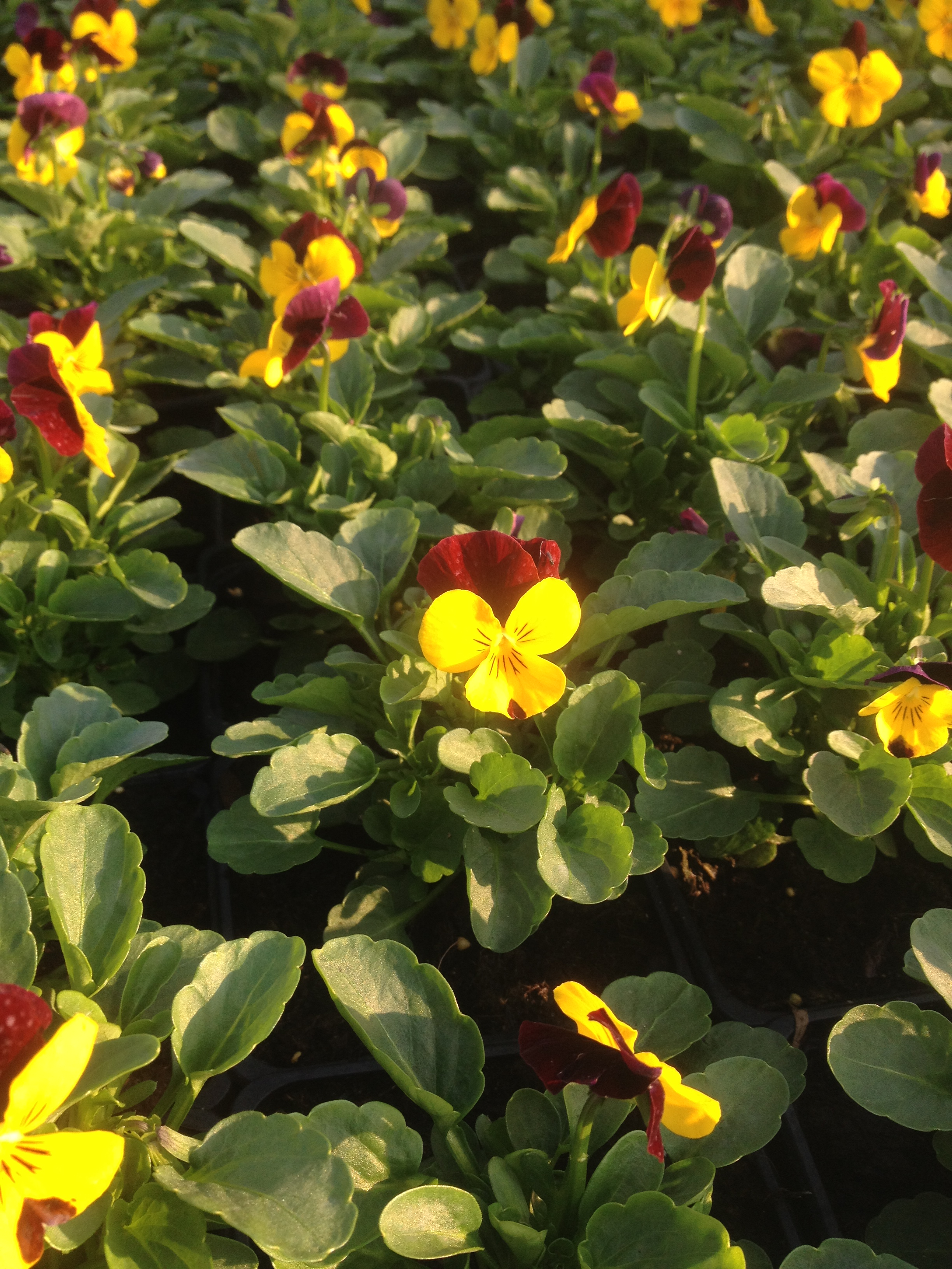 Viola x cornuta ´Twix F1 Yellow red wing´