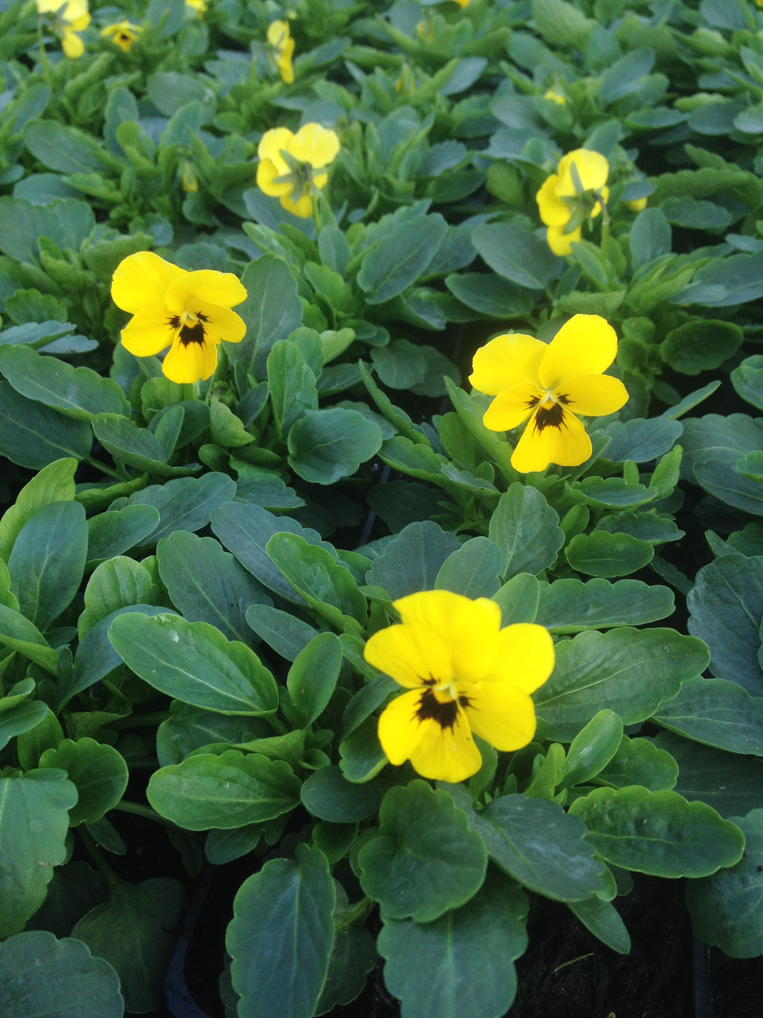 Viola x cornuta ´Twix F1 Yellow with eye´